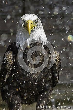 American Bald eagle in rain - nictitating membrane
