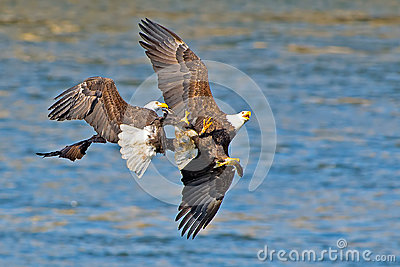 American Bald Eagle s
