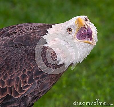 American Bald Eagle Scream