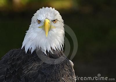American Bald Eagle Straight on Glare