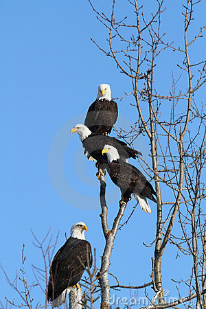 Free American Bald Eagles Royalty Free Stock Images - 22737959