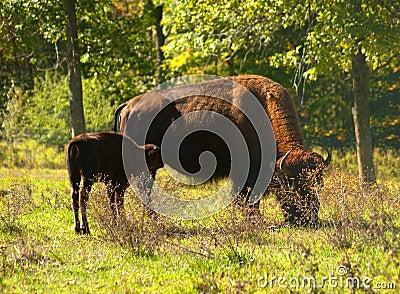 American bison, american buffalo