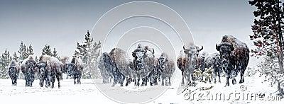 American Bison Herd