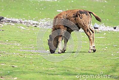 American bison juvenile