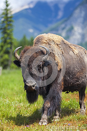 Free American Bison Or Buffalo Royalty Free Stock Photos - 32051258