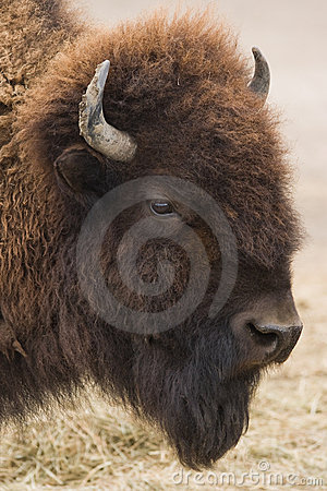 Free American Bison Or Buffalo Stock Photography - 8953842
