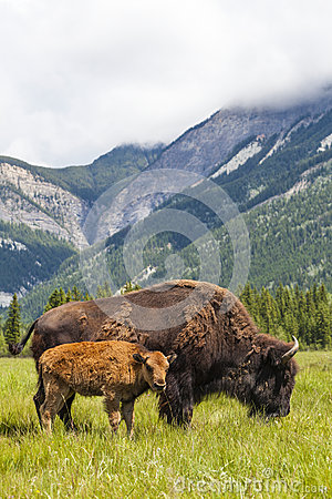 Free American Bison Or Buffalo Mother & Calf Stock Images - 32051294