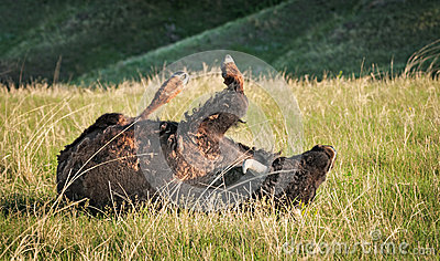 American Bison Rolls in Prairie Grasses