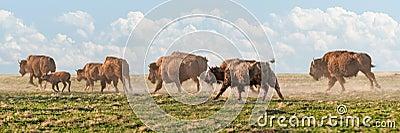 American Bison Stampede
