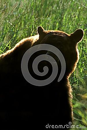 American Black Bear;Cinnamon (Ursus americanus)