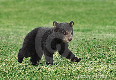 American Black Bear Cub Runs Across Grass