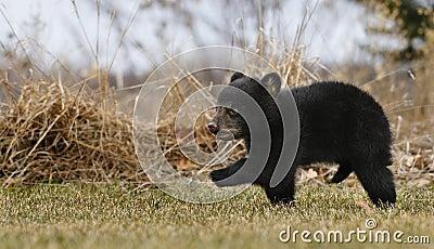 American Black Bear Cub Runs Across Grass