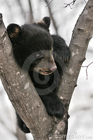 American Black Bear Cub in Tree