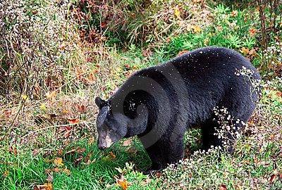 American Black Bear Walking Through Shrubs