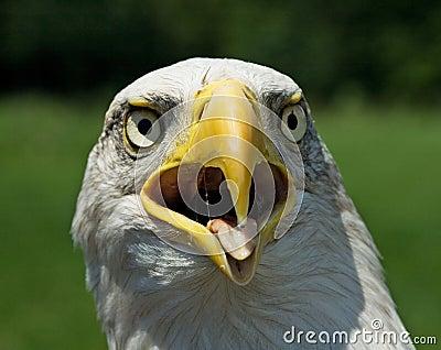 American blad eagle