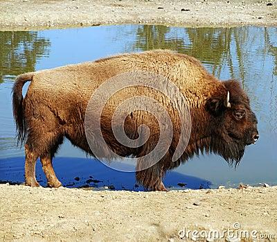 American buffalo - Bison bison