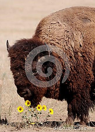 American Buffelo