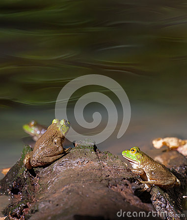 Free American Bullfrog Royalty Free Stock Images - 57554079