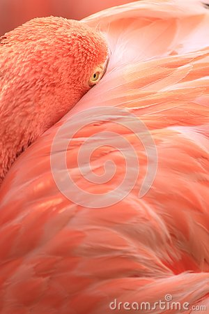 Pink coloured cuban flamingo close-up