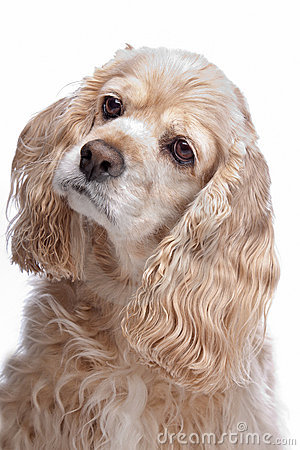 Free American Cocker Spaniel Royalty Free Stock Images - 19451039