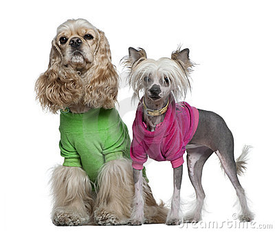American Cocker Spaniel and Chinese Crested dogs