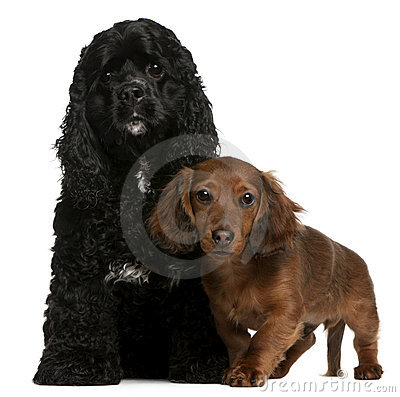 American Cocker Spaniel and dachshund puppy