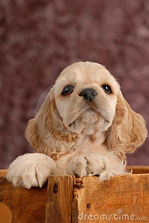 Free American Cocker Spaniel Puppy Stock Image - 10387831