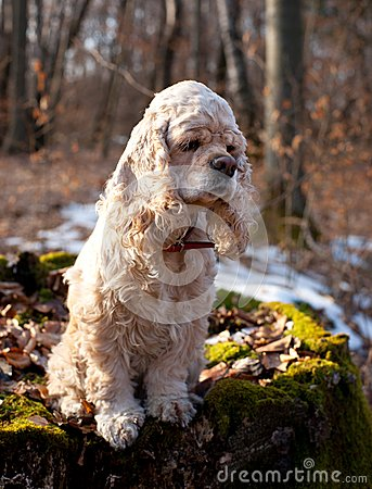 American cocker spaniel sitting on a log