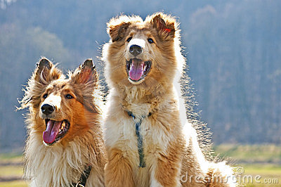 American collie dogs