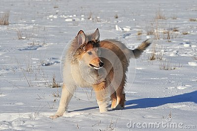 American Collie in the snow