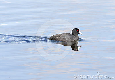 American Coot at Hauser Lake.