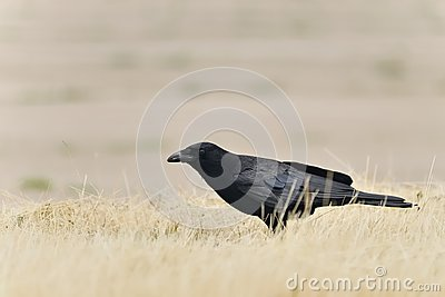 American Crow with bug