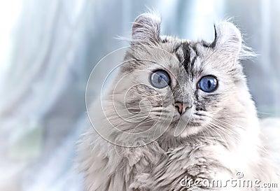 American Curl cat