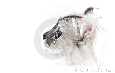 AMERICAN CURL CAT ABOVE WHITE