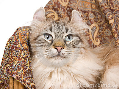 American Curl cat on brown cloth