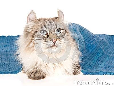 American Curl cat lying under blue rug