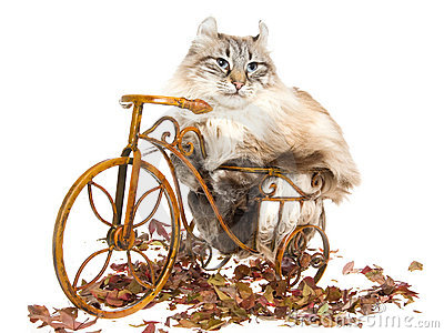 American Curl cat on mini bicycle