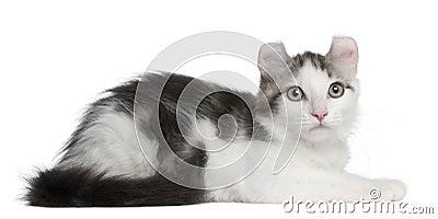 American Curl Kitten, 13 weeks old, lying