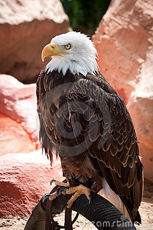 Free American Eagle Royalty Free Stock Photos - 15691938