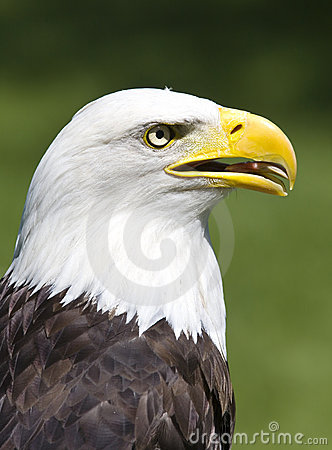 Free American Eagle Royalty Free Stock Images - 2644039