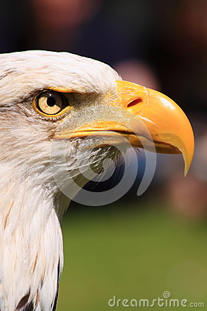 American fish eagle eye and beak