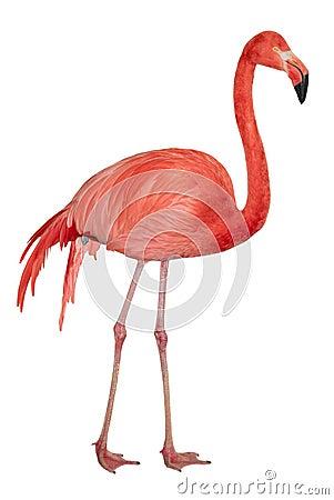 Free American Flamingo Cutout Royalty Free Stock Photos - 14770338