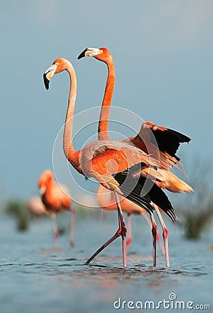 Free American Flamingo (Phoenicopterus Ruber) Royalty Free Stock Photo - 26381435