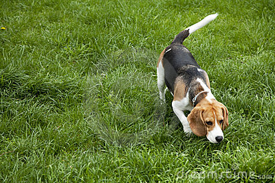 American foxhound dog Stock Photo