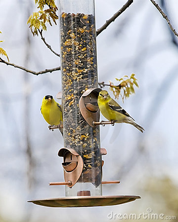 Free American Gold Finches Stock Photo - 5396880