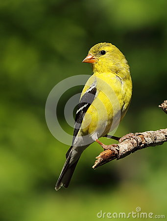 Free American Goldfinch Royalty Free Stock Photography - 42517567