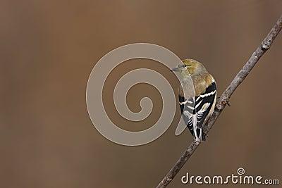 American Goldfinch (Carduelis tristis tristis)
