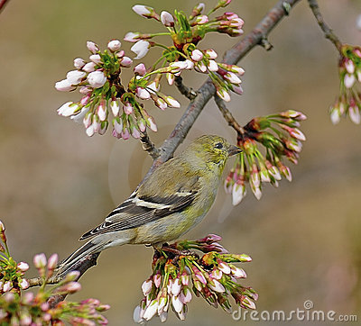 Free American Goldfinch In Tree Stock Images - 17701464