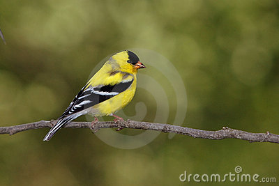 American Goldfinch Molting Male