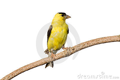 American goldfinch profiles his yellow plumage